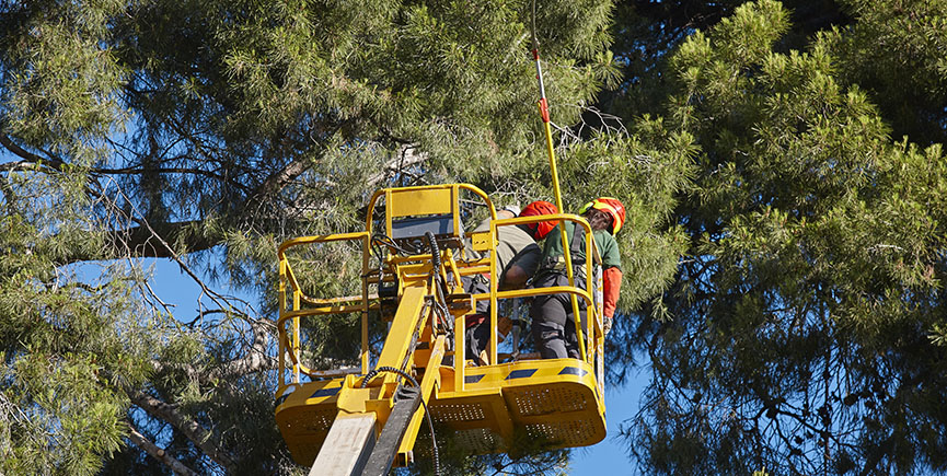 Tree work, pruning operations. Crane and pine wood